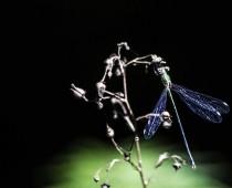 Insecte_Chalcolestes-viridis