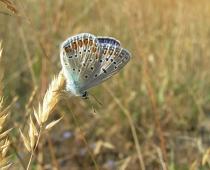 Insecte_Polyommatus-icarus2_