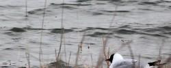 Oiseau_mouette-rieuse