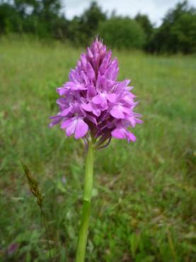 Plante_Anacamptis-pyramidalis_P.Gourdain