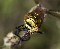 Insecte_Brachitron pratensis