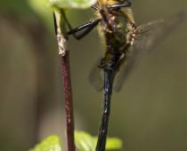 Insecte_Cordulia aenea