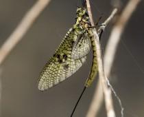 Insecte_Ephemera sp.