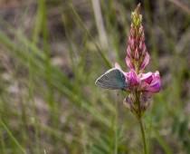 Insecte_Glaucopsyche alexis (3)