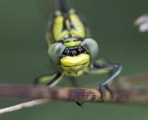 Insecte_Gomphus pulchellus (6)