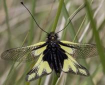 Insecte_Libelloides coccajus (2)