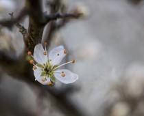 Plante_Prunus spinosa_fleur