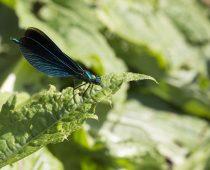 Insecte_Calopteryx-virgo