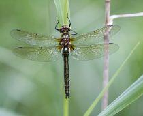 Insecte_Cordulia-aenea