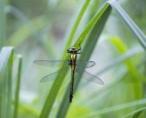 Insecte_Gomphus-vulgatissimus