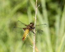 Insecte_Libellula-depressa-(1)