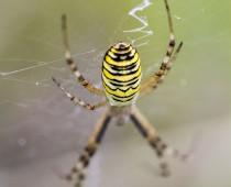 Arachnide_Argiope bruennichi