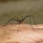 Arachnides