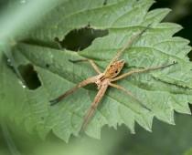 Arachnide_Pisaura mirabilis