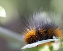 Insecte_Arctia caja