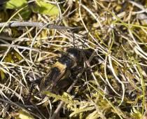Insecte_Gryllus campestris (2)