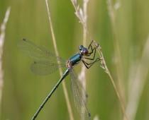 Insecte_Lestes dryas