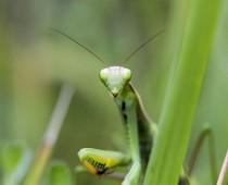 Insecte_Mantis religiosa