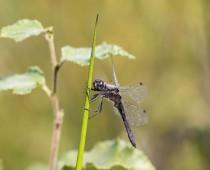 Insecte_Sympetrum danae (2)