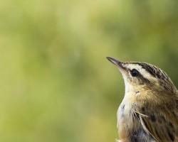 Ornithologie en Bassée – les oiseaux nicheurs