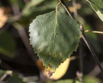 Plante_Betula alba