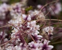 Plante_Cuscuta epiphytum
