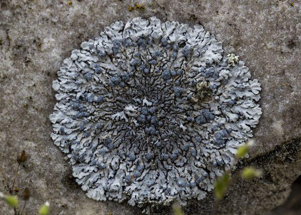 Sortie lichénologique, en forêt de Fontainebleau