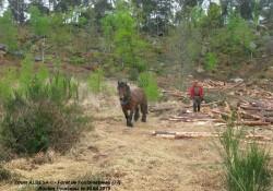 Du débardage cheval en forêt de Fontainebleau