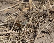 Insecte_Chorthippus brunneus