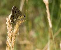 Insecte_Lycaena-thitirus-(1)