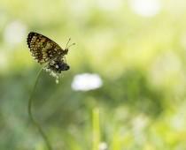 Insecte_Melitaea-athalia