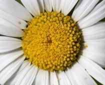 Plante_Leucanthemum-vulgare