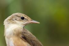 Ornithologie en Bassée – Oiseaux migrateurs