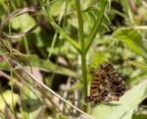 Insecte_Clossiana-dia