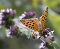 Insecte_Clossiana-selene_2