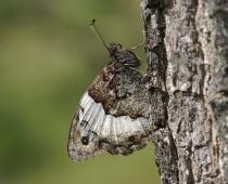 Insecte_Hipparchia-fagi