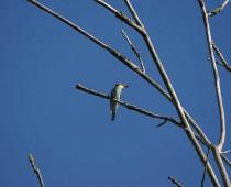 Oiseau_Merops-apiaster