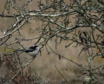 Oiseau_Mesange-a-longue–queue