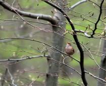 Oiseau_Troglodyte-mignon