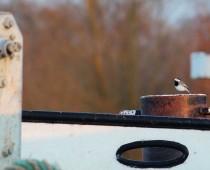 Oiseau_bergeronnet-grise