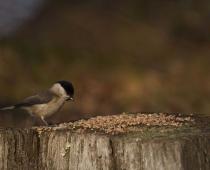 Oiseau_mesange_nonette_0029
