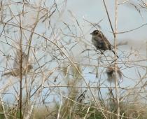 Oiseau_moineau-domestique