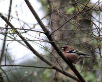 Oiseau_pinson-des-arbres