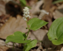 plante_Maianthemum-bifolium