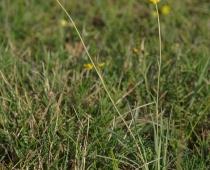 plante_ranonculu-gramineus