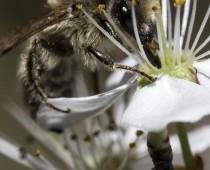 Insecte_Apis_butinant