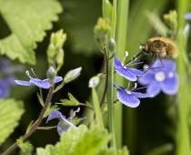 Insecte_Bombylius & Veronica