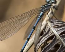 Insecte_Coenagrion puella