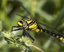 Insecte_Gomphus vulgatissimus