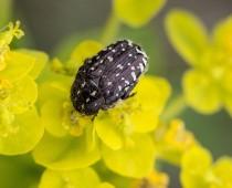 Insecte_Oxythyrea funesta
